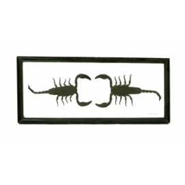 Два скорпиона в  рамке (фа-с-34)